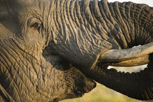 Close up image of an African elephant as it drinks
